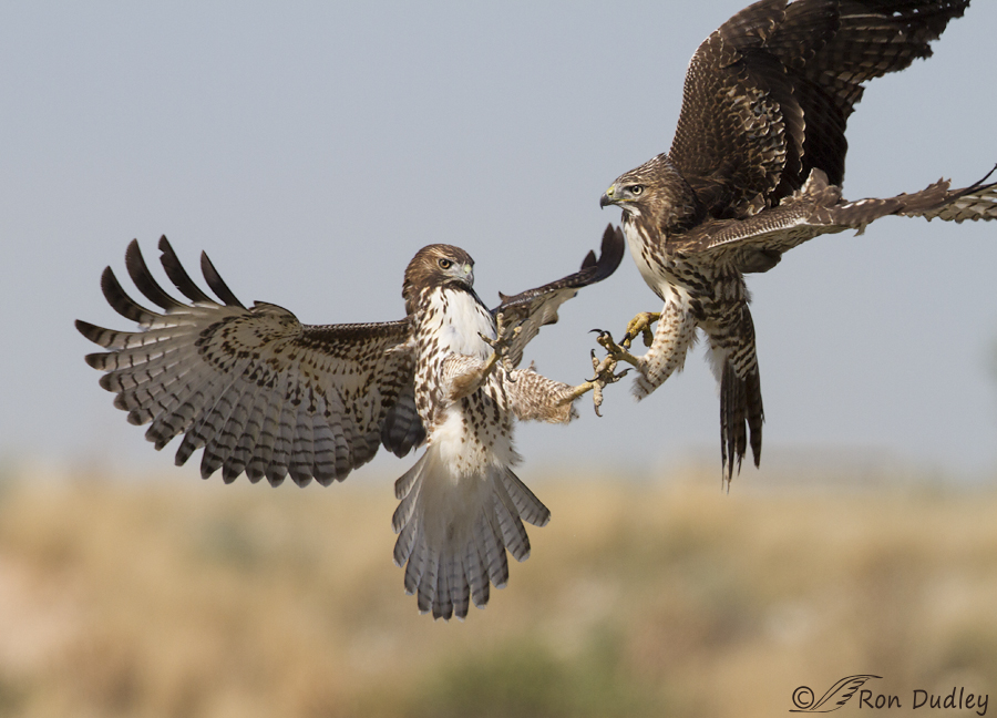 red-tailed hawk 2921 ron dudley