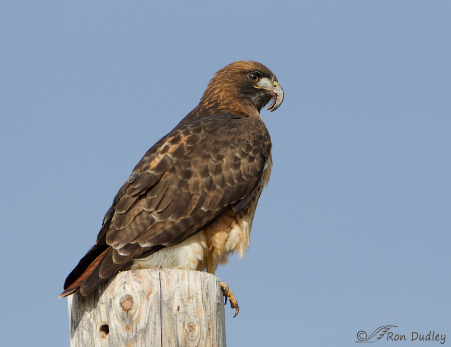 red-tailed-hawk-3311 ron dudley