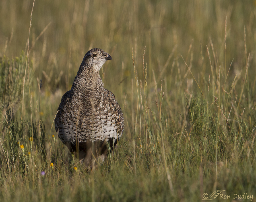 sage grouse 5117 ron dudley
