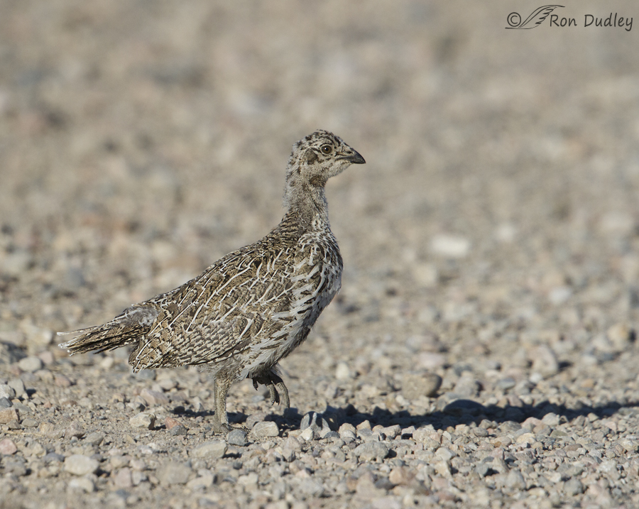 sage grouse 5632 ron dudley