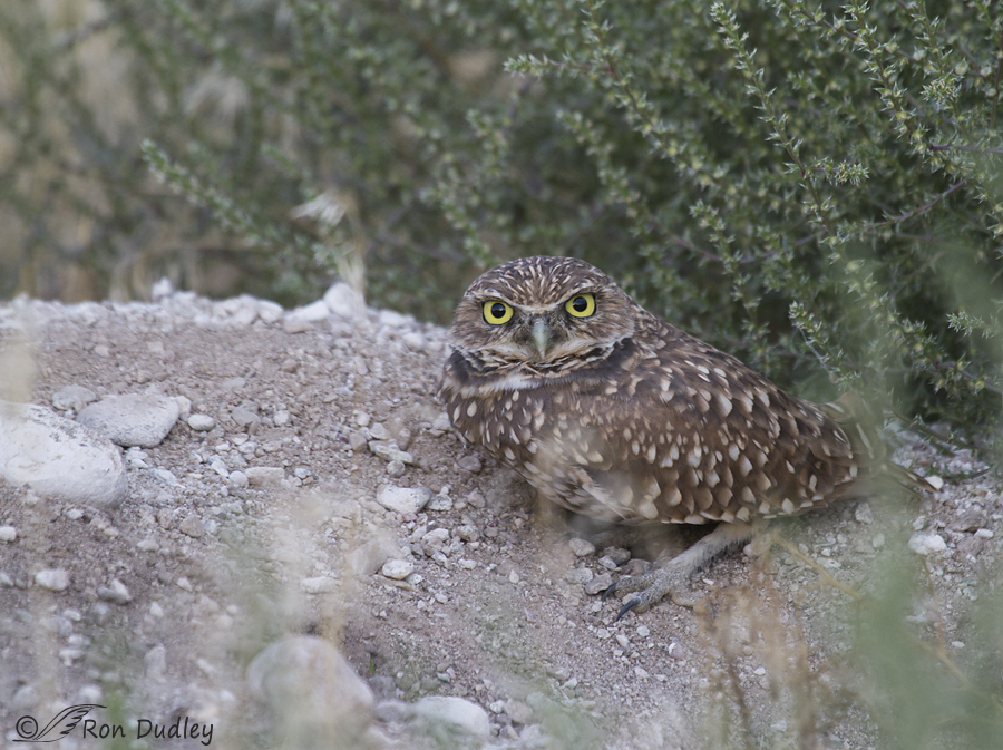 burrowing owl 4389 ron dudley