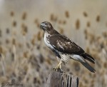 red-tailed hawk 6764 ron dudley