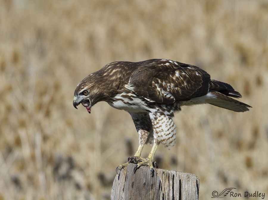 red-tailed hawk 6870 ron dudley