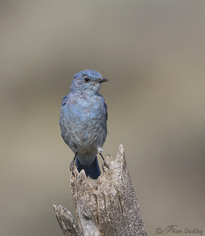 Mountain Bluebird And Perch Both Battered And Bruised Feathered