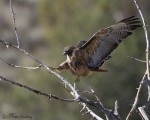 red-tailed hawk 8113 ron dudley
