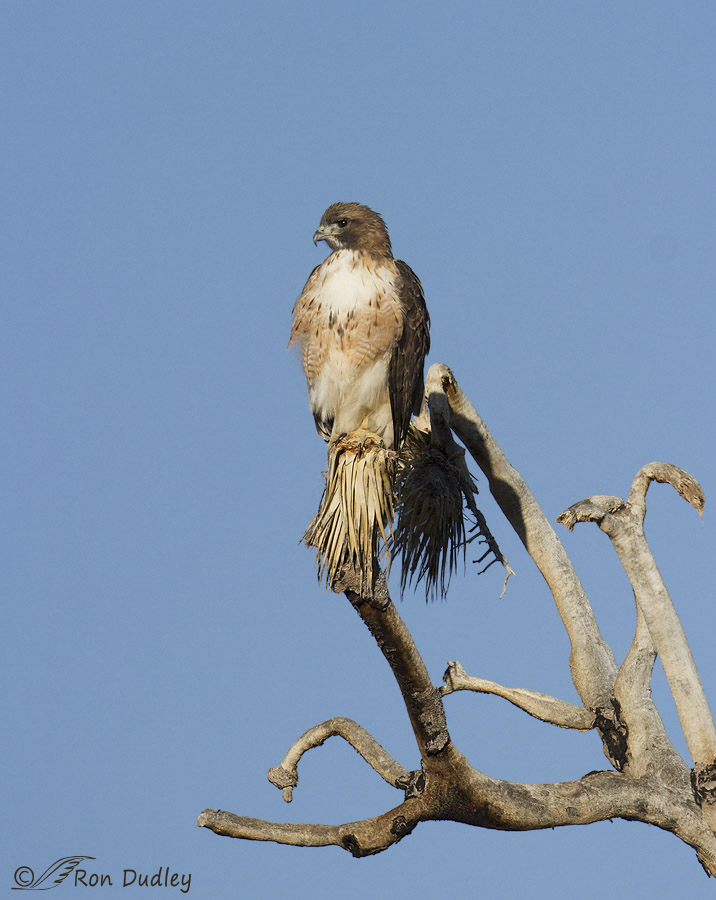 red-tailed hawk 8786 ron dudley