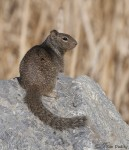 rock squirrel 9827 ron dudley
