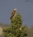 swainson's hawk and nest tree 4452 ron dudley
