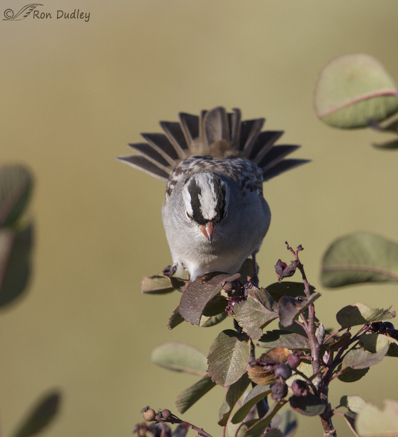 white-crowned sparrow 6558 ron dudley