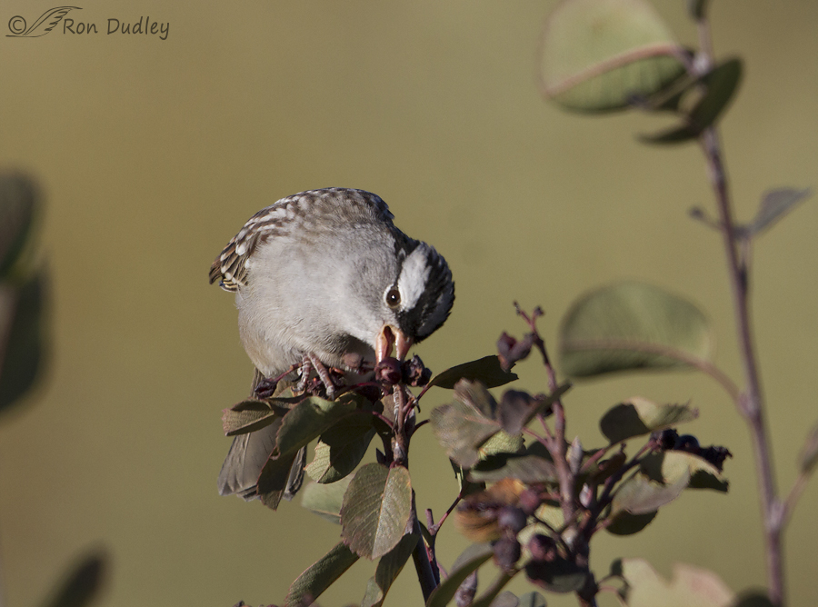 white-crowned sparrow 6572 ron dudley