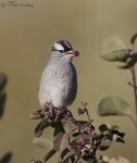 white-crowned sparrow 6587 ron dudley