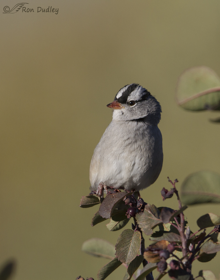 whitte-crowned sparrow 6544 Ron Dudley
