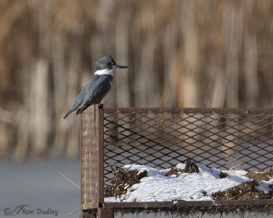 belted kingfisher 2366 ron dudley