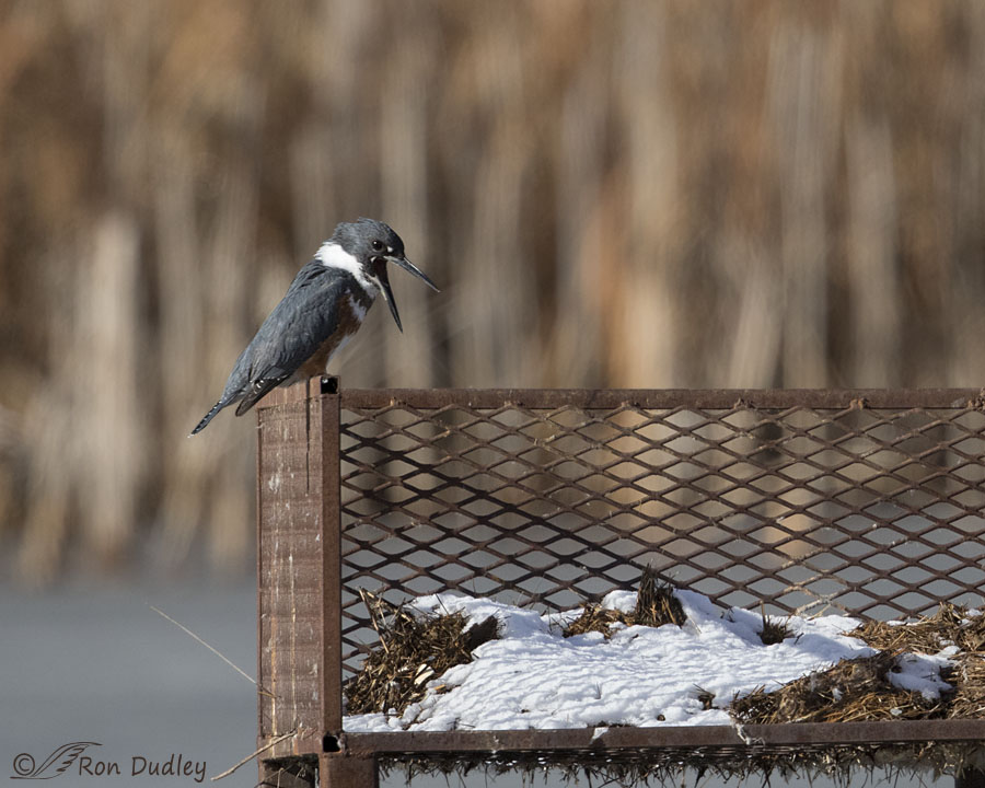 belted kingfisher 2371 ron dudley