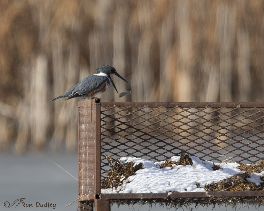 belted kingfisher 2382 ron dudley