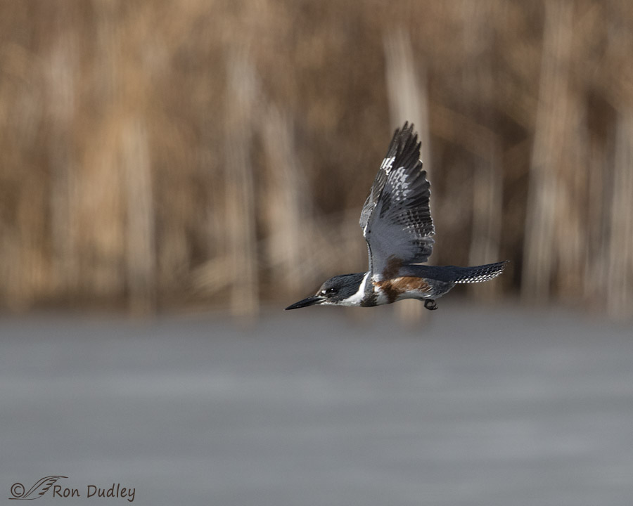 belted kingfisher 2398 ron dudley