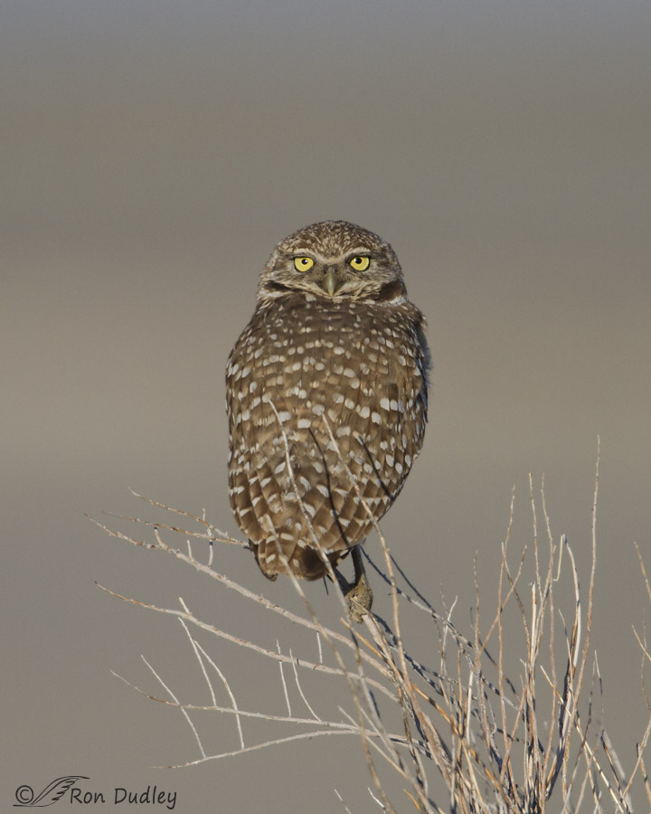 burrowing owl 1656 ron dudley