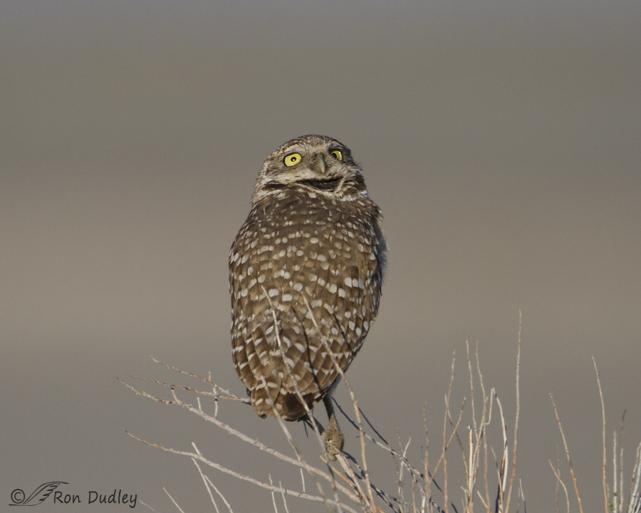 burrowing owl 1670 ron dudley