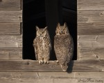 great horned owl 1767 ron dudley