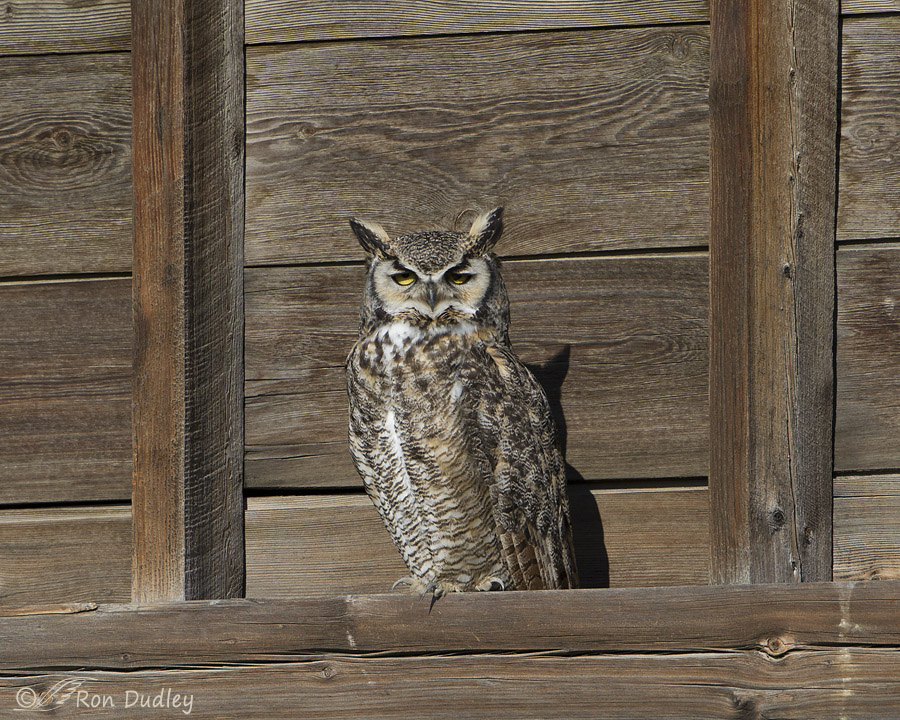 great horned owl 6199 ron dudley