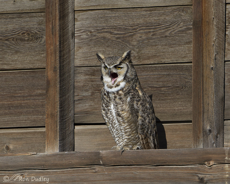 great horned owl 6206 ron dudley