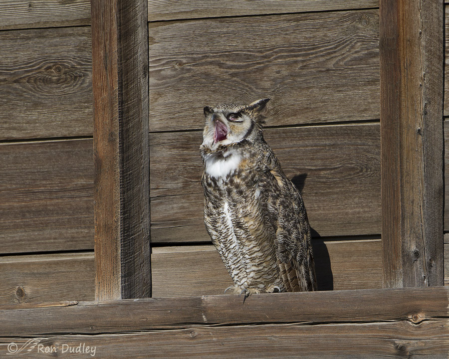 great horned owl 6213 ron dudley