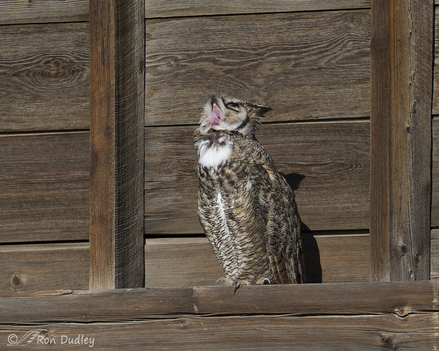 great horned owl 6215 ron dudley