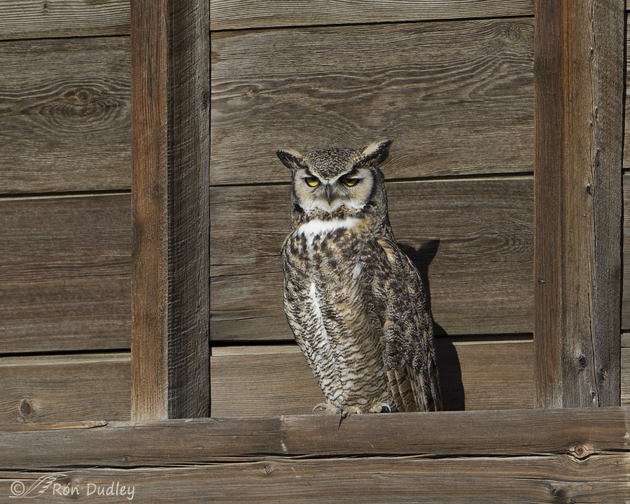 great horned owl 6223 ron dudley