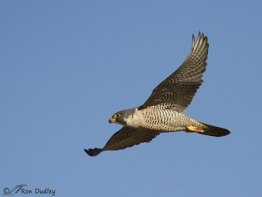 Peregrine Falcon In Flight After Dining On Duck ...