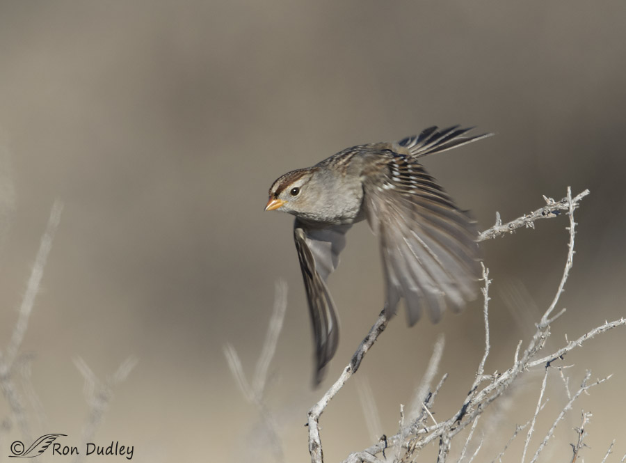 The gallery for --> Song Sparrow In Flight