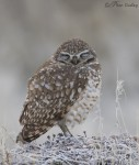 burrowing owl 8957 ron dudley