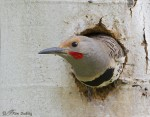 northern flicker 6080b ron dudley