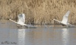 tundra swan 7083 ron dudley