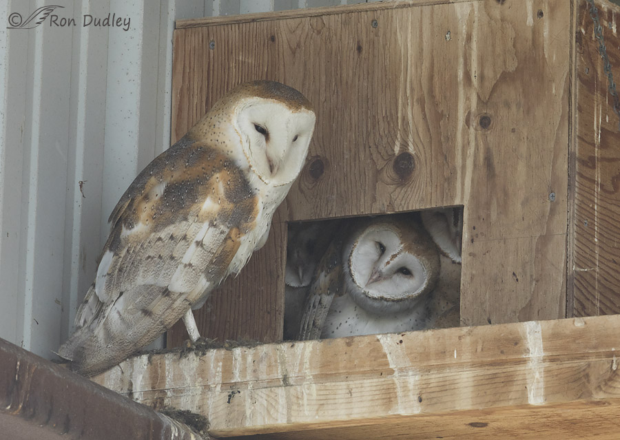 A Question Of Compatibility Among Owl Species 171 Feathered