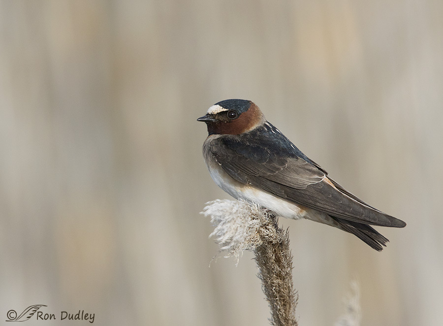 cliff swallow 9794 ron dudley