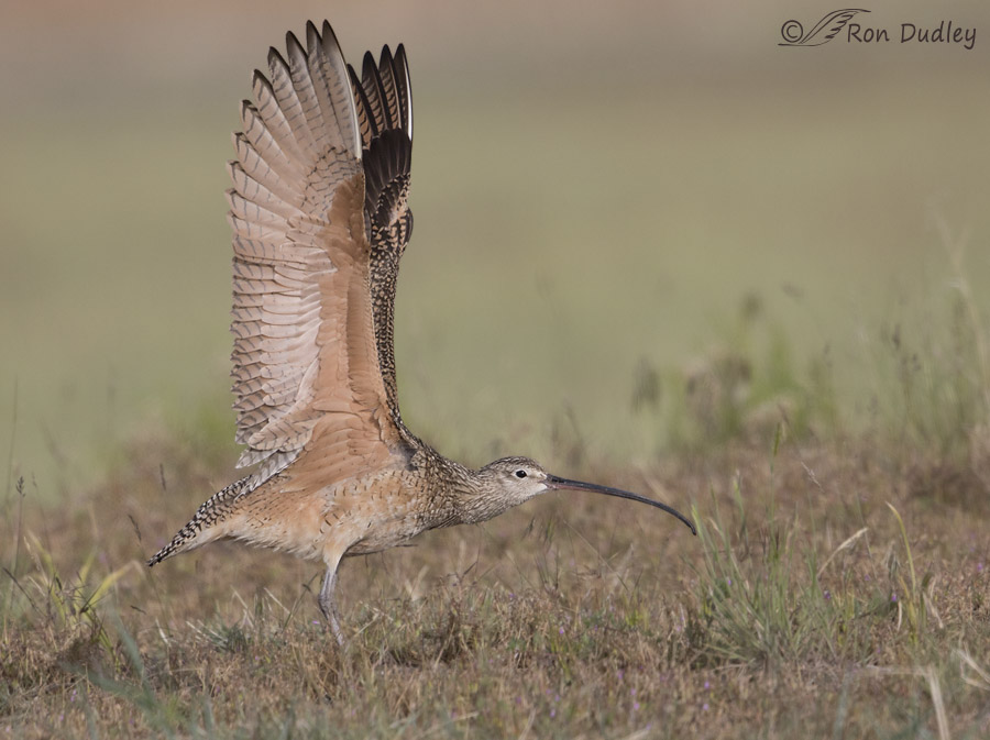 long-billed curlew 9065 ron dudley