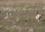 pronghorn 1751 ron dudley
