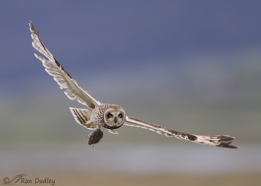 short-eared owl 7880c ron dudley