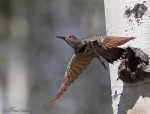 northern flicker 1494b ron dudley