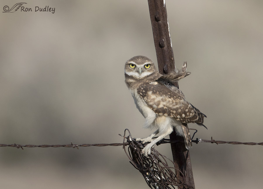 burrowing owl 3554b ron dudley
