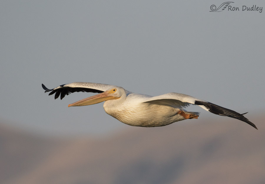 american white pelican 2135b ron dudley