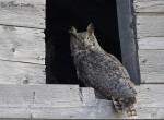great horned owl 0200 ron dudley