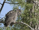 great horned owl 1226 ron dudley