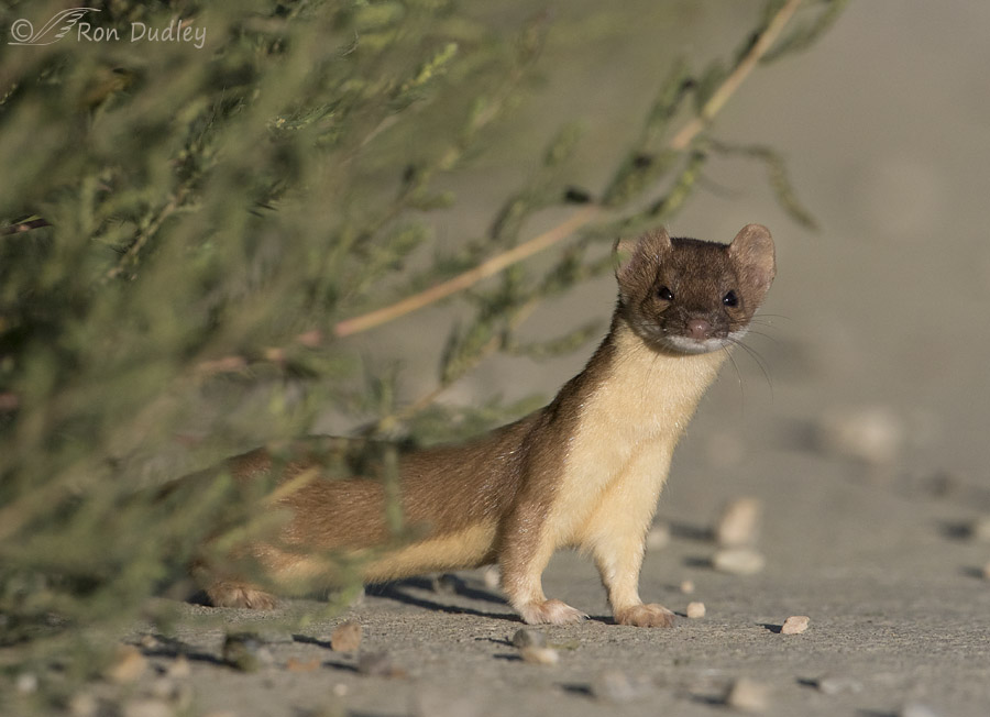 long-tailed weasel 3259 ron dudley