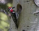 red-naped sapsucker 2585 ron dudley