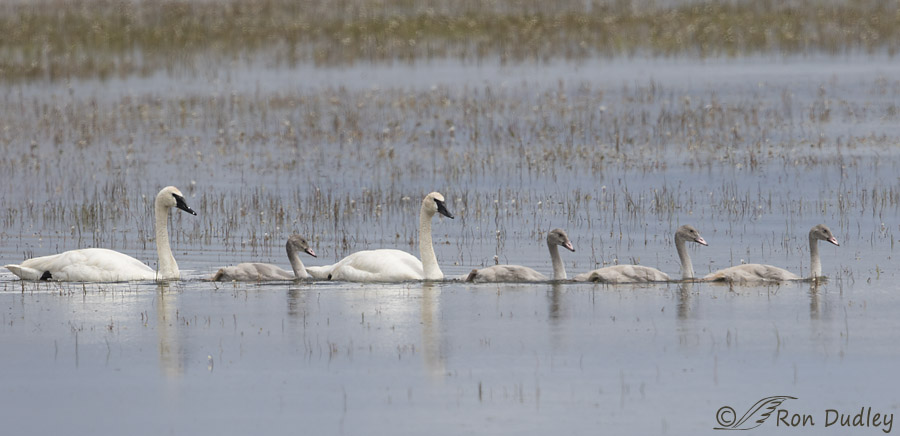 tundra swan 8153 ron dudley