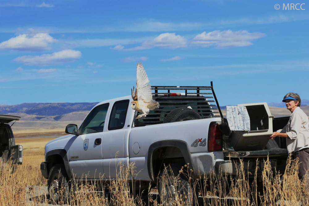 Barbed Wire Barn Owl Released Back Into The Wild (with photos ...