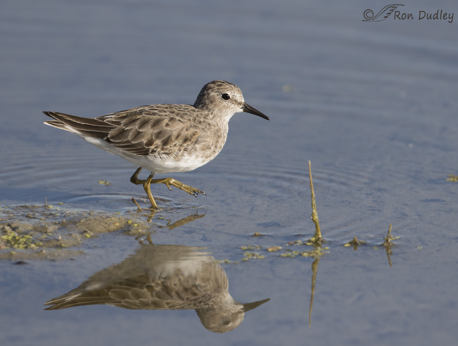 least sandpiper 6223b ron dudley