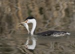 western grebe 3175 ron dudley