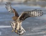 northern harrier 9245 ron dudley